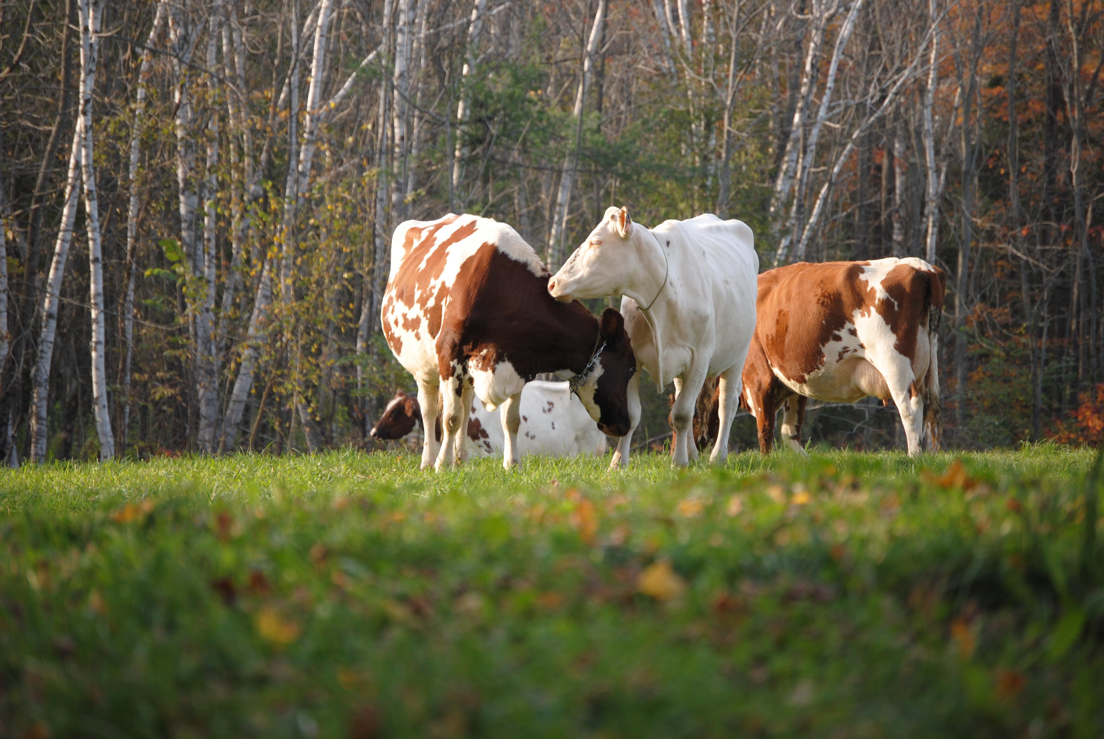 rudens govis